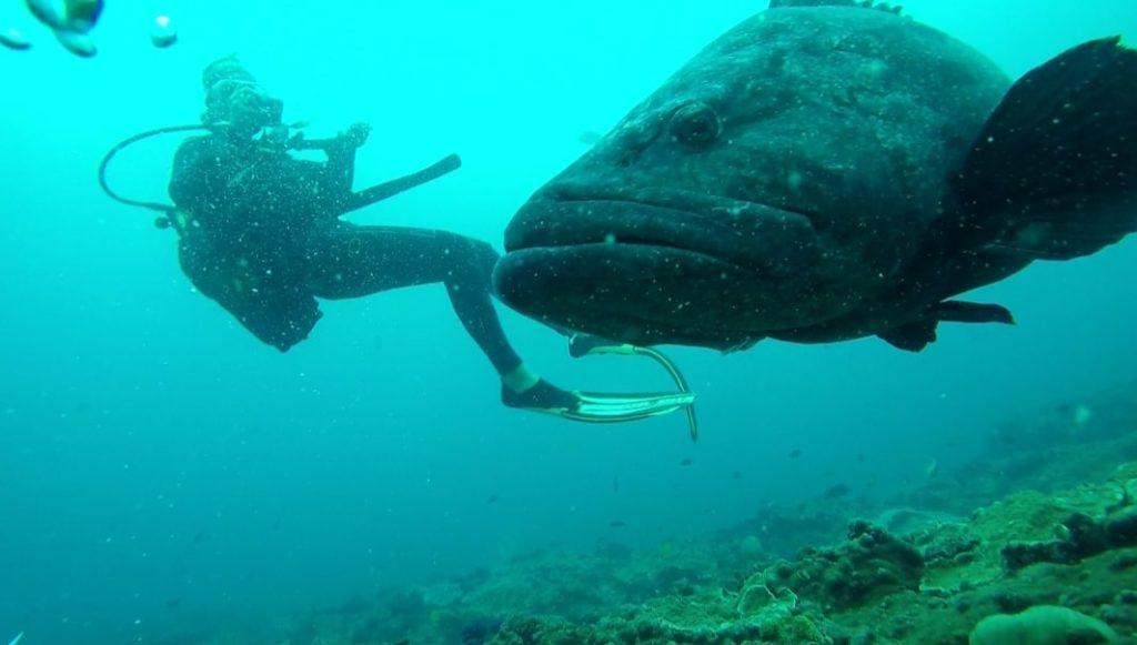 Riesiger Zackenbarsch mit Taucher am Two Mile Reef im indischen Ozean