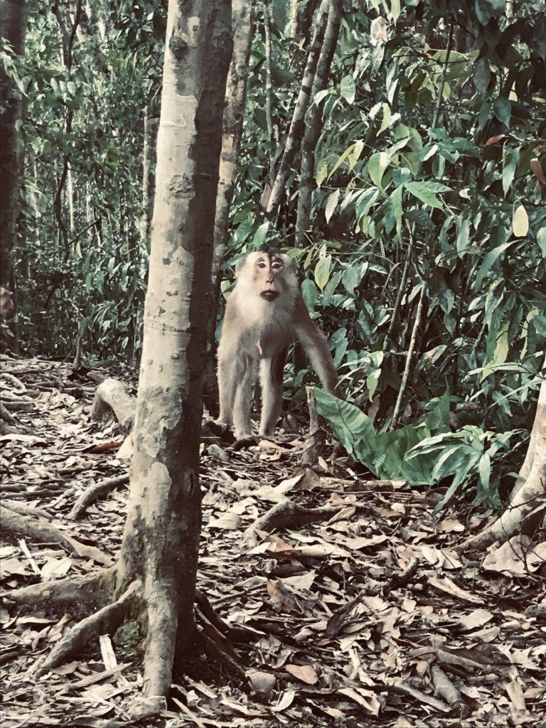 Affe im Dschungel von Gunung Leuser Nationalpark
