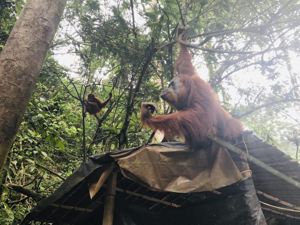 Mama und Baby Orang-Utans in Gunung Leuser Nationalpark