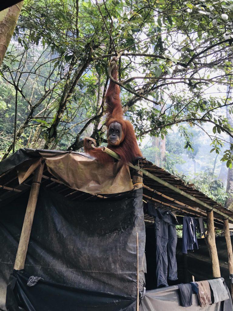 Orang-Utan im Camp von Gunung Leuser Nationalpark