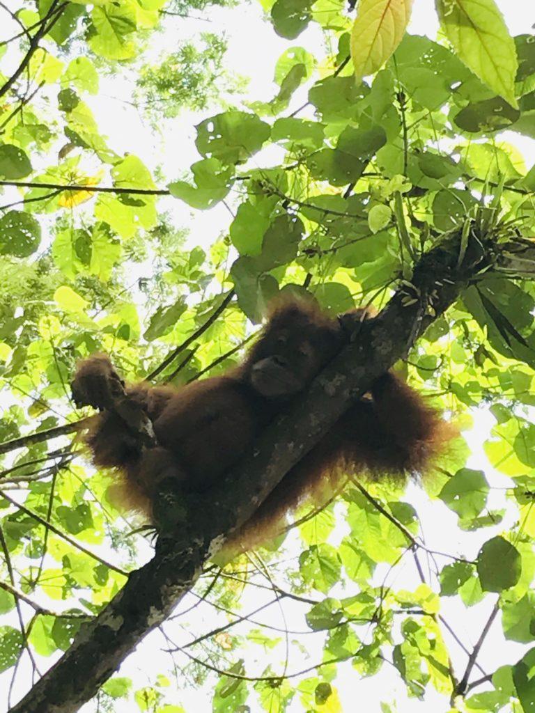 Baby Orang-Utan im Baum