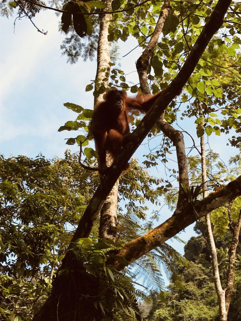 Orang-Utan im Baum von Gunung Leuser Nationalpark